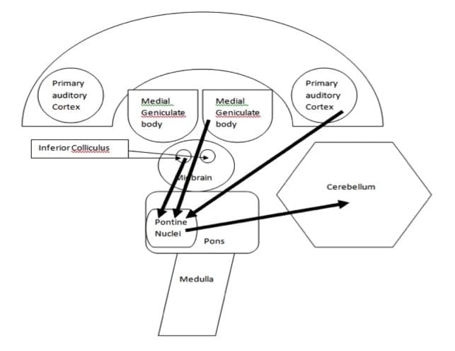 the auditory system  what u2019s the cerebellum got to do with