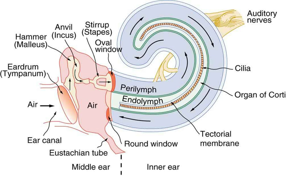 The fluids of the inner earhear in private practice ccuart Images
