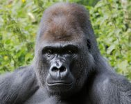 gorilla hearing loss deaf