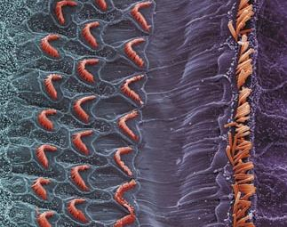 hair cell regeneration cochlea