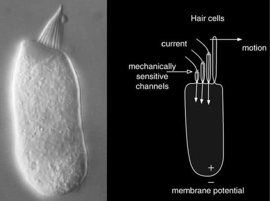 cochlear hair cell anatomy