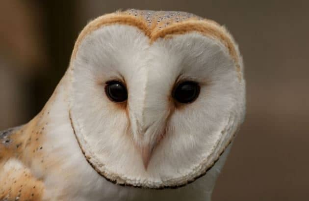 owl hearing loss research treatment