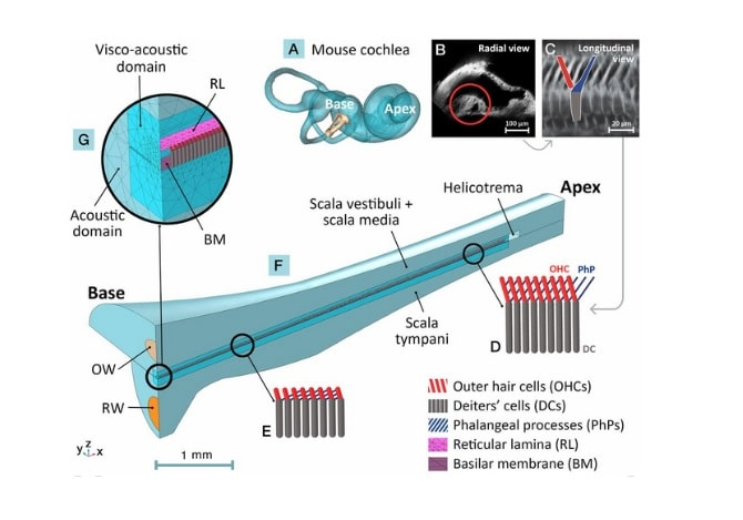 cochlea hair cell restoration