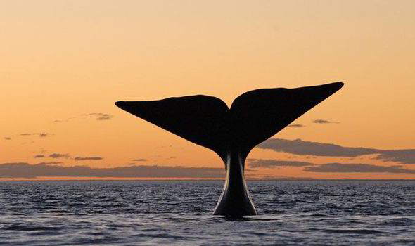 http://www.express.co.uk/news/world/384142/The-loneliest-whale-in-the-world-The-whale-whose-unique-call-has-stopped-him-finding-love
