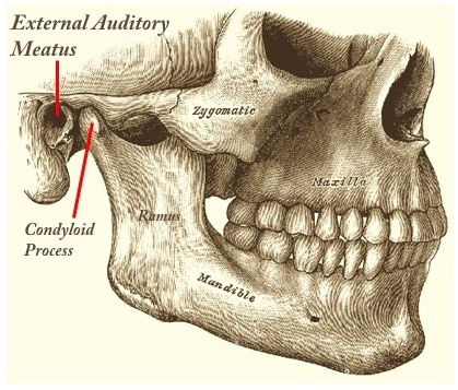 Figure 8.  The condyloid process of the ramus of the mandible articulates just anterior to the external auditory meatus, resulting in dimensional changes in the ear canal during jaw movement, regardless of the purpose (speaking, mastication, etc).