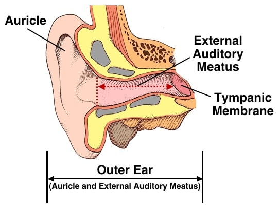 Image result for external auditory meatus