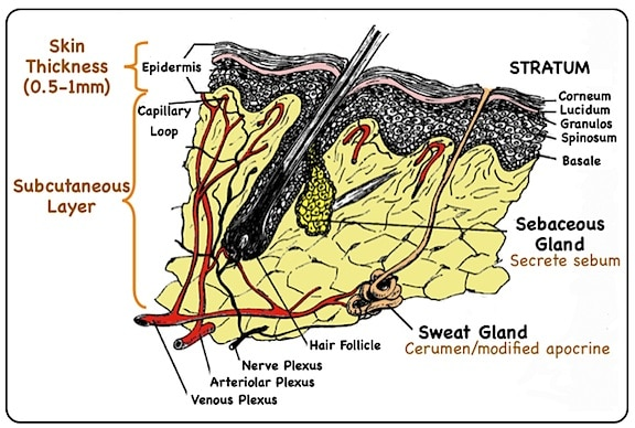 Figure 4.  Detailed drawing of the skin layer of the cartilaginous ear canal.  It is typical of general human body composition as seen in Figure 3.  The cartilage lies beneath this subcutaneous layer.