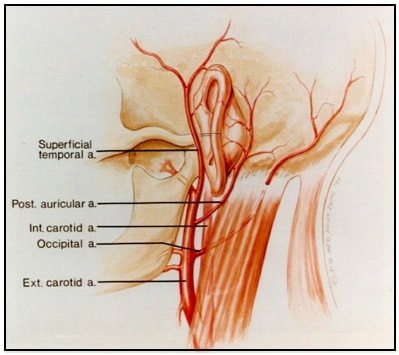 Figure 5.  Illustration showing that the ear has an abundant blood supply made available through branches from the external carotid artery .