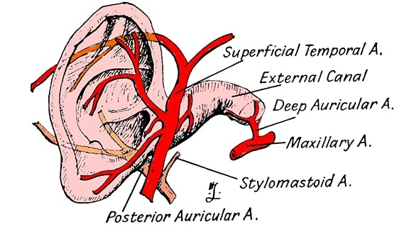 Figure 6.  The blood supply to the ear, to be viewed with Figure 5 to gain an appreciation of its abundant blood supply, with the ear canal shown.