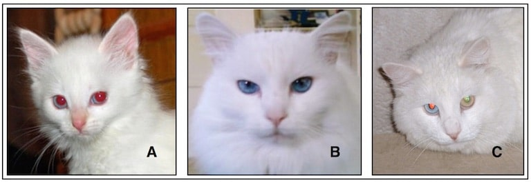 "Figure 1.  A - albino kitten.  The pinkish-red eyes are a reflection of excess light, revealing the color of blood vessels.  B – white cat with blue eyes.  C - white cat with ""odd"" colored eyes."