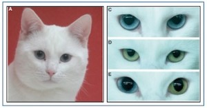 Figure 2.  A congenitally deaf white cat having blue eyes (A).  (C), (D), and (E) are examples of iris colors from white cats that experience deafness and include: (C) two blues eyes; (D) both amber eyes; and (E) a heterochromy (one blue and one amber eye). Photo credits: B. Tiemann (Universitätsklinikum Hamburg-Eppendorf) and A. Burghard (Hannover Medical University).