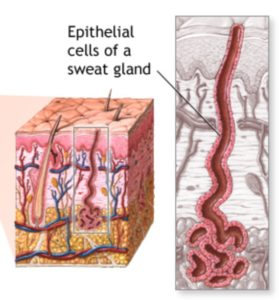 Figure 3. Eccrine sweat glands found in most of the body with the exception of the ear canal. Their secretion (water and sodium chloride) emerges through the skin at surface pores. Eccrine sweat glands respond to heat. These are NOT found in the ear canal, but are identified here to show how their secretions emerge through pores in the skin as opposed to apocrine sweat glands whose secretions exit along the surfaces of hair shafts.