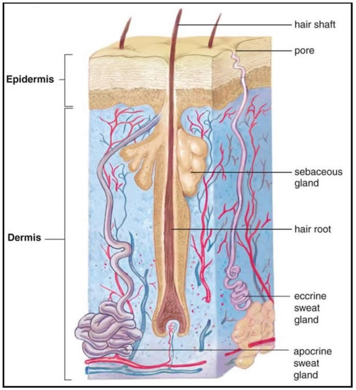 Figure 4. Illustration showing the difference between eccrine and apocrine sweat glands. Eccrine sweat glands are smaller, not as deep, and exit their secretions in pores of the skin. Eccrine glands are NOT found in the ear canal. Apocrine sweat glands are found in the outer portion of the ear canal. They are larger, deeper, and exit a thicker secretion along the surface of a hair shaft.
