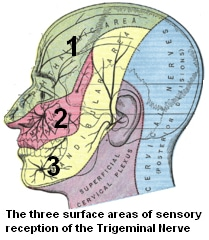 Figure 1.  Surface areas of sensory reception of the Trigeminal (N5) nerve.