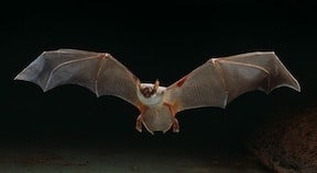 Figure 12. Lesser bulldog bat, capable of producing ultrasonic sounds as high as 137 dB. Photo from Stephen Dalton.