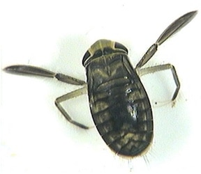 Figure 10. The water boatman, a European insect, may produce the loudest sound of its size for any creature, at 99.2 dB. Wikipedia photo.