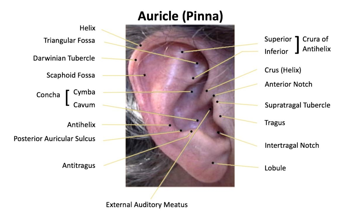 The Human Ear - The Auricle Part 2–Wayne Staab–Wayne\'s World